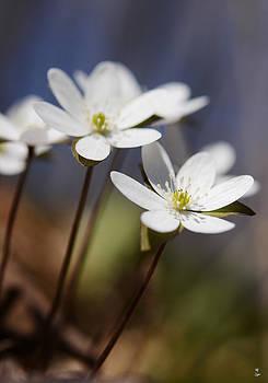 Minartesia - Hepatica White Wildflower