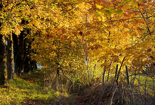 Paul W Sharpe Aka Wizard of Wonders - Heritage Sugar Maple Trees