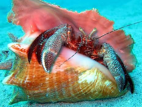 Hermit Crab Caribbean Sea by Laura Hiesinger