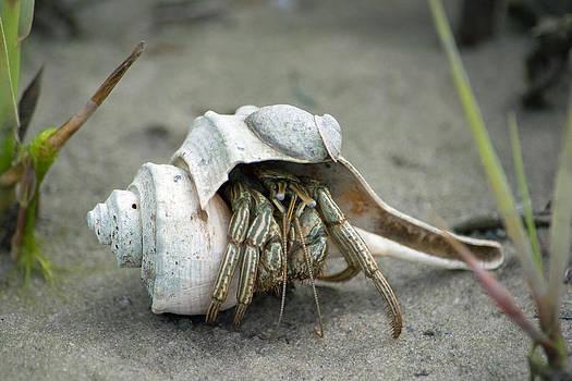 Marine Hermit Crab by Carla Mason