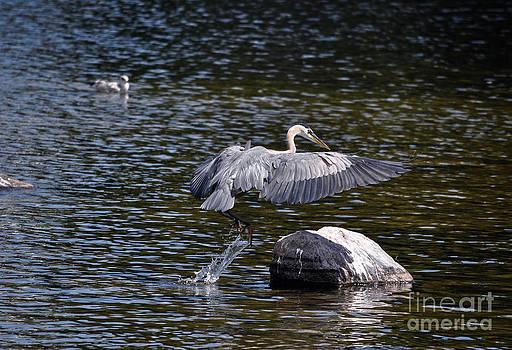 Heron Alighting by Skye Ryan-Evans