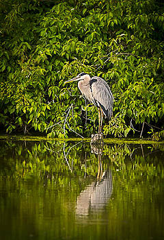 Heron at Rest by Shirley Tinkham