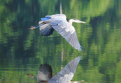 Heron Encounter by Leah Reynolds