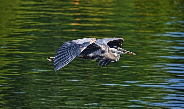 Heron Glide by Skye Ryan-Evans