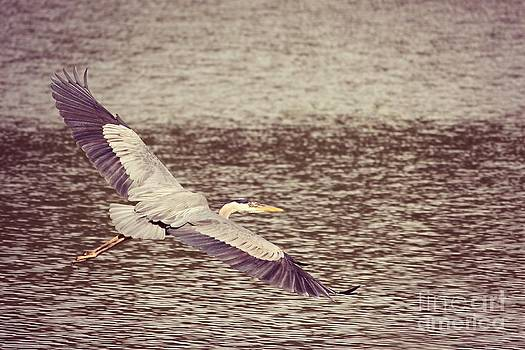 Heron in Flight  by Lauren Maki