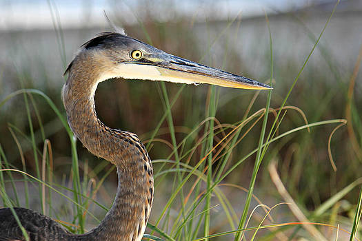 Heron in the Grass by Lynn Jordan