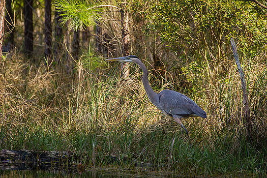 Heron on the Hunt by Julie Andel