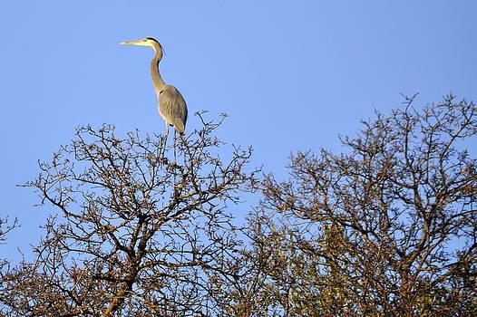 Heron on Top by AJ  Schibig