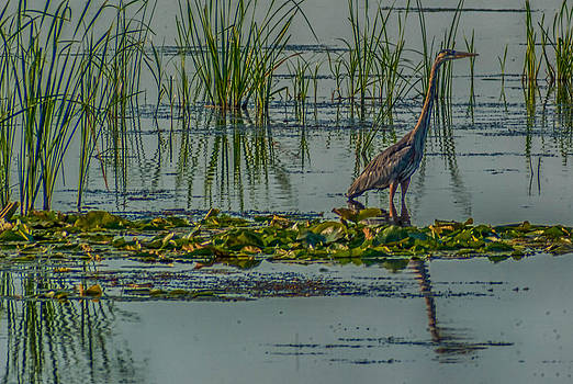Heron by Todd Heckert