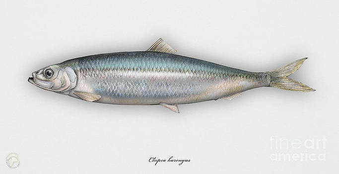 Herring  Clupea harengus - Hareng - Arenque - Silakka - Aringa - Seafood Art by Urft Valley Art