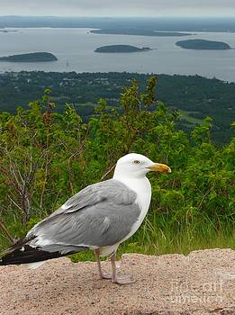 Christine Stack - Herring Gull above Porcupine Islands