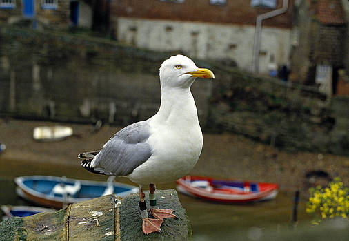 Herring Gull Staithes UK by David Davies