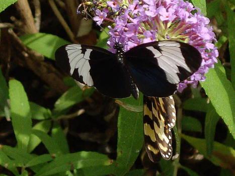 Hheliconius sapho butterfly by Barbara Lightner
