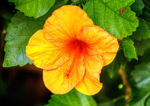 Bonnie Davidson - Hibiscus 2