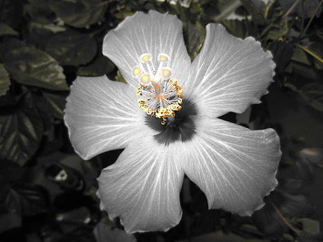 Hibiscus 2 by George Christoff