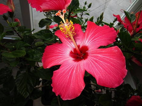 Hibiscus 3 by George Christoff