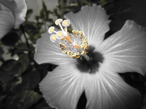 Hibiscus 4 by George Christoff
