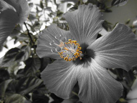 Hibiscus 5 by George Christoff