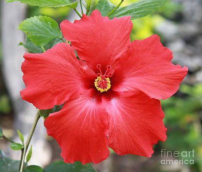 Hibiscus All Profit go to Hospice of the Calumet Area by Joanne Markiewicz