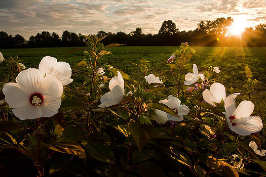 Randall Branham - HIBISCUS AT SUNRISE