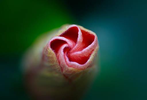 Hibiscus Bloom by Howard Weitzel