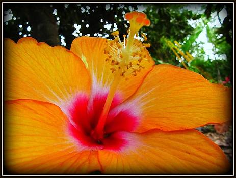 Hibiscus by Debora PeaceSwirl DAngelo