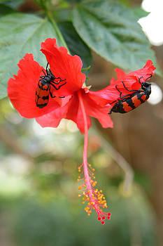 Devinder Sangha - Hibiscus