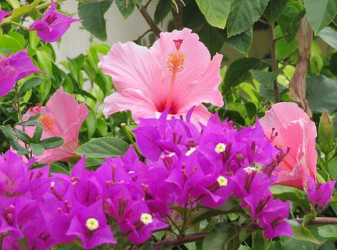 Hibiscus in Spring by Diane Mitchell