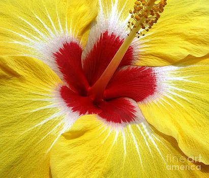 Hibiscus Red by Candy Frangella