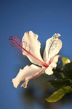 Veronica Vandenburg - Hibiscus Still Life