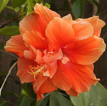 Hibiscus by Terri JS Molitor