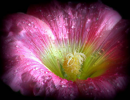 Hibiscus water drops by Kerry Hauser