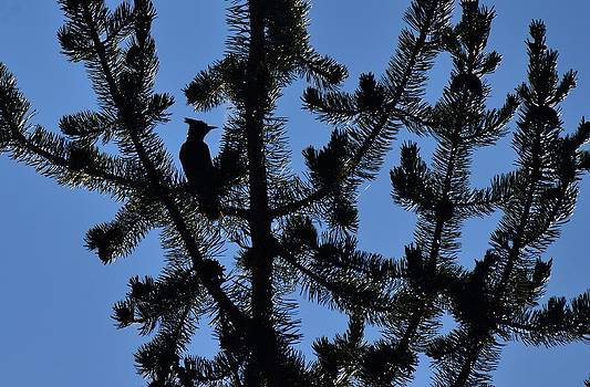Hidden Bluejay in Silhouette by Rich Rauenzahn