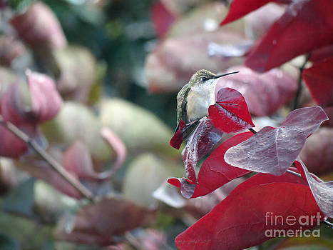 Hidden Hummingbird in Red Bud Tree by Crissy Anderson