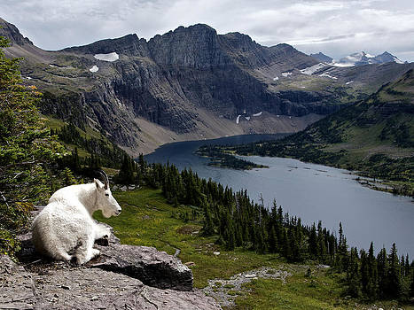 Hidden Lake Mountain Goat by Robert Yone