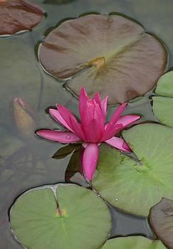 Hidden Lily by Steph Maxson