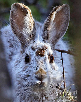 Hidden Snowshoe Hare by Lloyd Alexander-Pictures for a Cause
