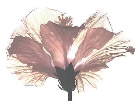 Angela Davies - High Key Hibiscus