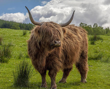 High Know Brown Cow by Terry Cosgrave