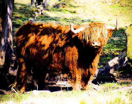 Highland Cow 5 by Alan Oliver