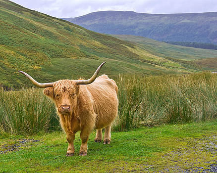 Jane McIlroy - Highland Cow in Glen Lyon Scotland