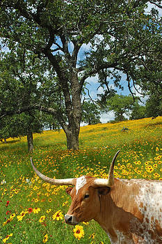 Robert Anschutz - Hill Country Longhorn