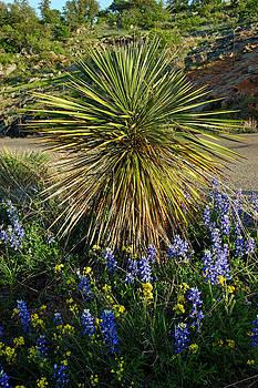 Robert Anschutz - Hillside Yucca