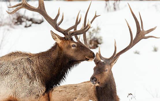 Kevin  Dietrich - Hilltop Elk