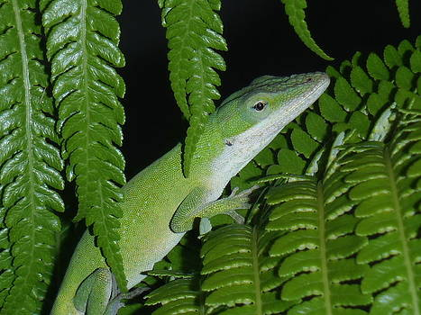 Hilo Gecko by Tony and Kristi Middleton