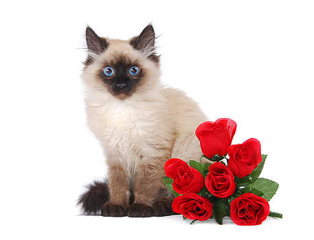 Himalayan kitten with roses by Perry Harmon