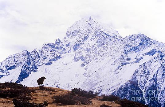 Tim Hester - Himalayan Yak