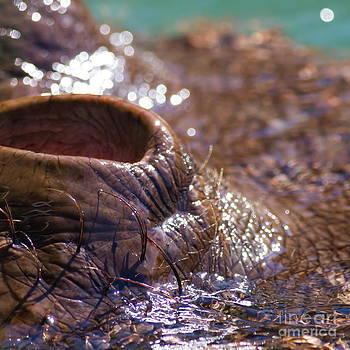 Wingsdomain Art and Photography - Hippopotamus 7D9108