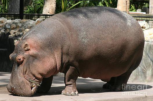 Hippopotamus by Lynn Jackson