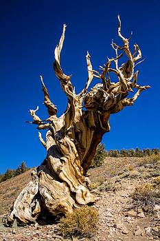 Historical Bristlecone Pine tree by Lisza Anne McKee